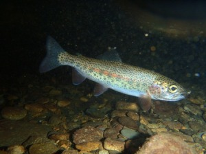 "Underwater shot of the 8"" Rainbow Trout caught with a Hare's Ear Nymph in the Smoky Mountain National Park. The average size of a rainbow trout in the park is 6-10 inches."
