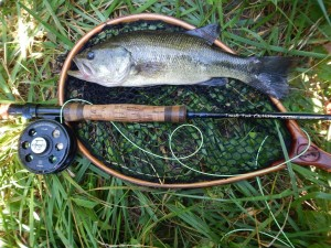 "A 14"" largemouth bass caught on a chartreuse popper fly."
